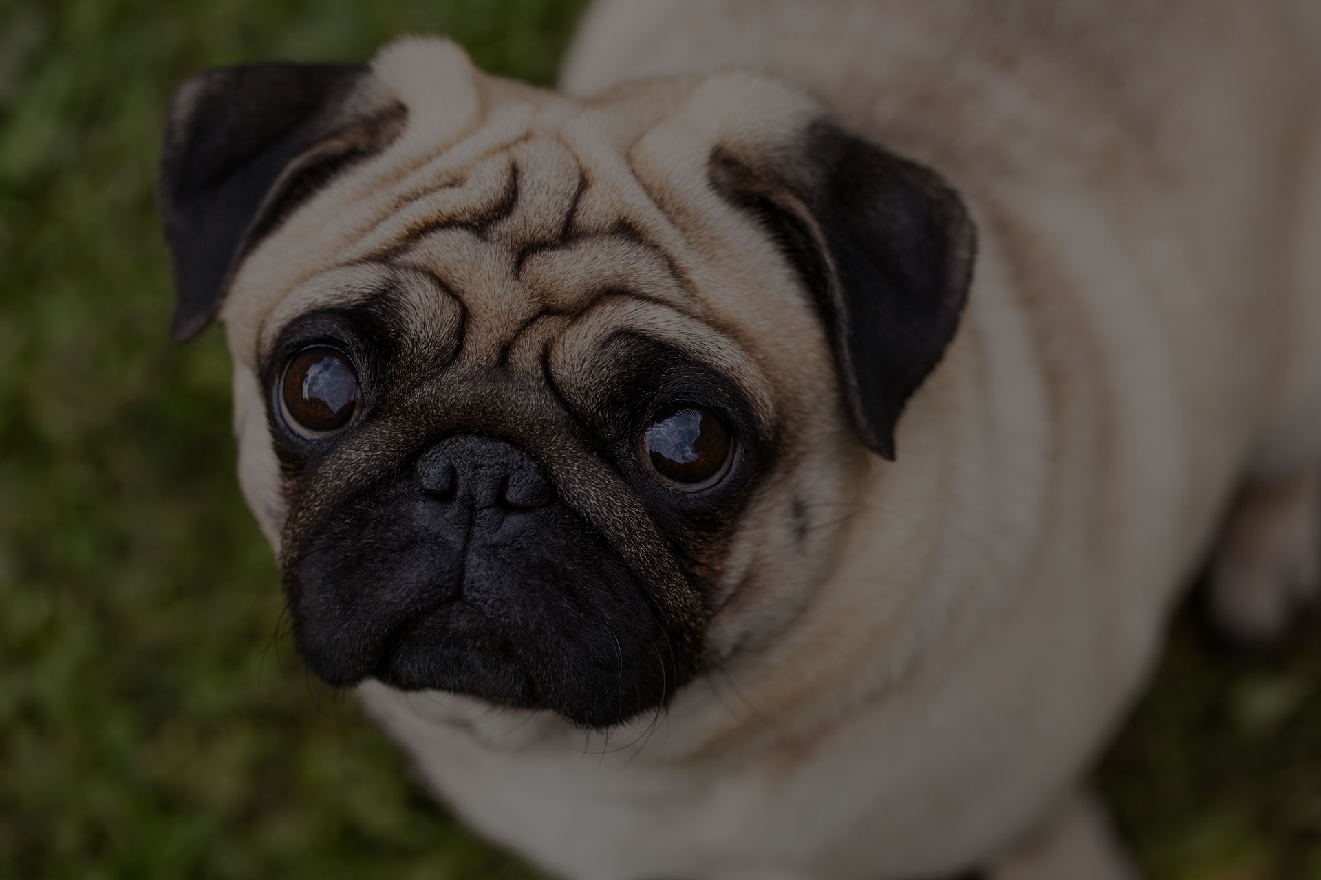 Portrait of a pug on a blurred green grass background view from above